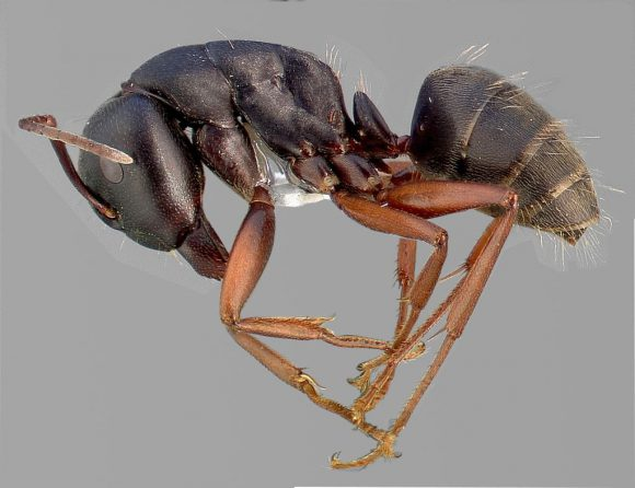Carpenter Ant(Camponotus_modoc)