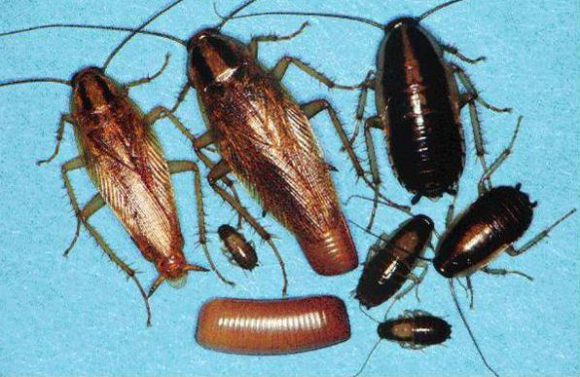 German Cockroaches Life Stages