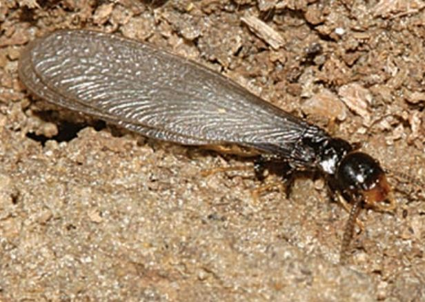 Subterranean Termite Winged Adult