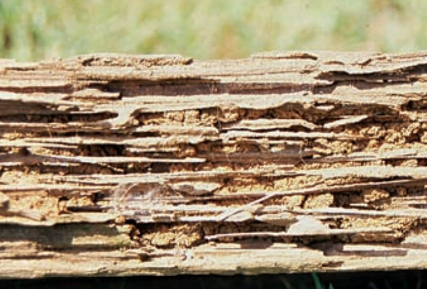 Subterranean Termite Wood Damage